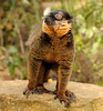 Collared Brown Lemur