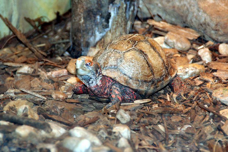 Tortoise before crossing road