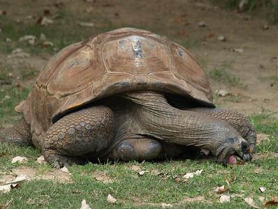 Tender neck.Aldabra tortoise.