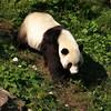 Tai Shan, restless. Giant Panda