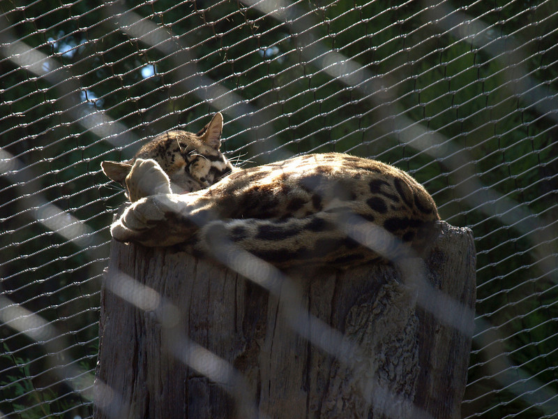 Fishing cat, sleeping.