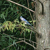 Blue jay far away.