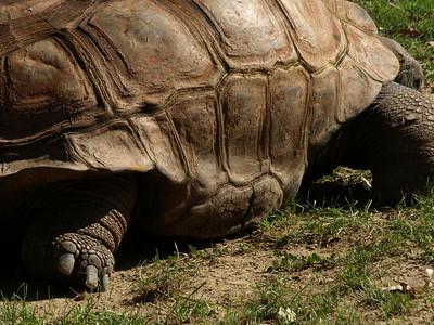 Ancient armor.Aldabra tortoise