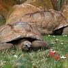Groundskeepers. Aldabra tortoise