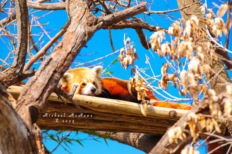 Red Panda at Sedgwick County Zoo