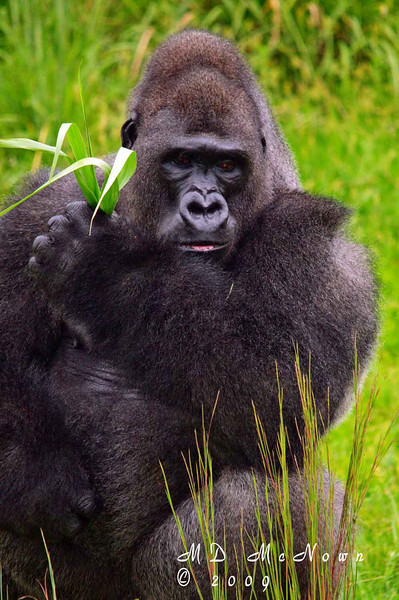 Silverback Gorilla.  He was using the weed in his hand to clean his teeth.