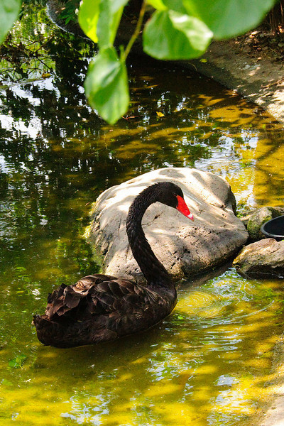 Black Swan at Sedgwick County Zoo