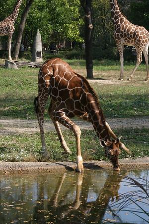 Baby Giraffe Brookfield Zoo