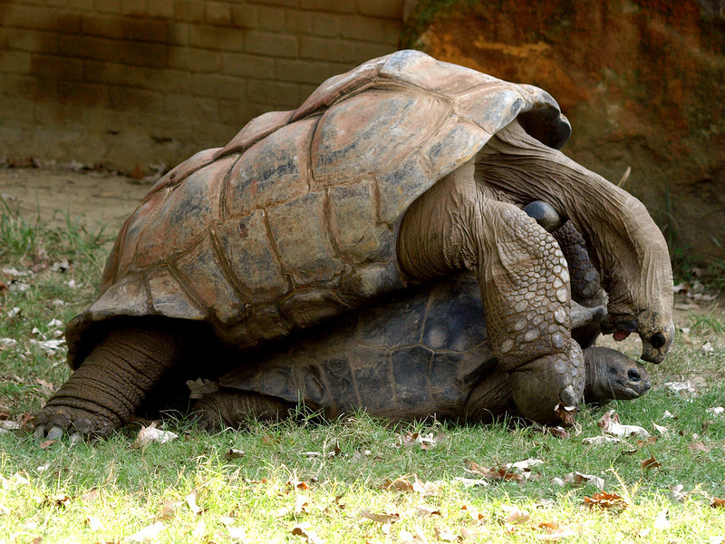 Giant tortoise love. They were loud, too.