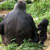 Kibbibi the Western Lowland Gorilla.