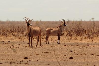 Roan antilopes!
