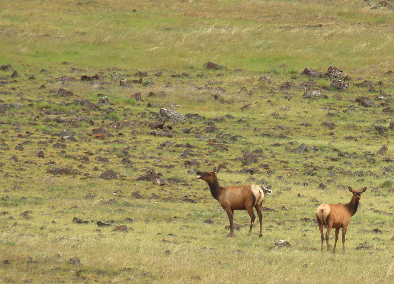 ~ Zumwalt Elk ~