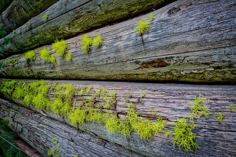 ~ Wolf Lichen ~
