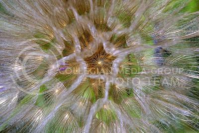 a dandelion... held very, very close.