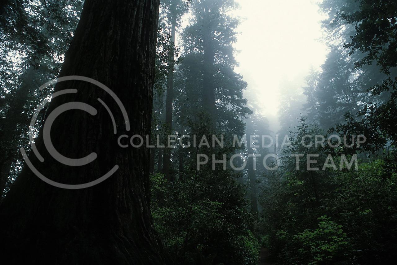 the Redwoods, morning mist