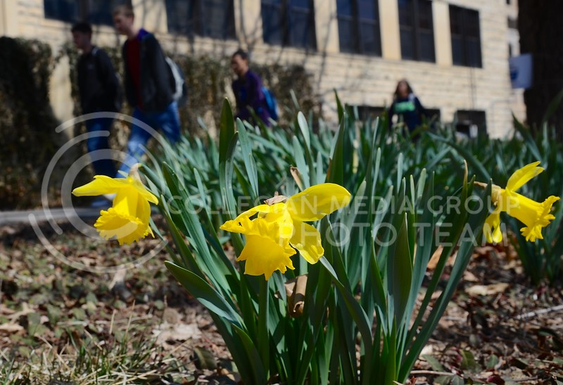 (Photo by Parker Robb | Collegian)  Students on their way to and from classes walk past blooming daffodils in front of Waters Hall March 27, 2013.