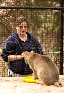 Courtani Pineau, animal keeper at the Sunset Zoo, feeds one of the bobcats meatballs on March 30.