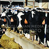 Obama signed into law a new farm bill which affects farmers nationwide, including dairy farmers who will receive insurance to cover costs when feed costs and milk prices become too close. These cows posed at Kansas State University's Dairy Farm.