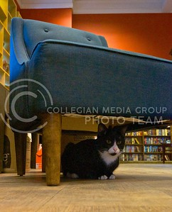 (Photo by Parker Robb | Collegian)  Oliver hides from Dusty Bookshelf patrons and the photographer under a stuffed chair in the front of Dusty's Bookshelf in Aggieville January 23, 2014.