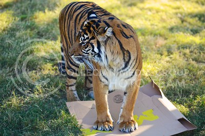 (Photo by Parker Robb | Collegian)  After eating all of the meat in K-State's box and thus predicting a wildcat victory in the Buffalo Wild Wings Bowl, Hadiah flattens the Michigan box at the Phoenix zoo December 26, 2013.