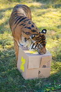 (Photo by Parker Robb | Collegian)  After eating all of the meat in K-State's box, Hadiah heads toward the meat in the Michigan box at the Phoenix zoo December 26, 2013.