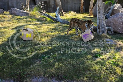 (Photo by Parker Robb | Collegian)  After passing up the Michigan box, Hadiah, the Phoenix zoo's sumerian tiger, predicts a wildcat victory in the Buffalo Wild Wings Bowl at the Phoenix zoo December 26, 2013.
