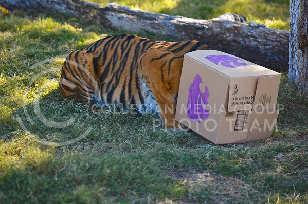 (Photo by Parker Robb | Collegian)  After passing up the Michigan box, Hadiah, the Phoenix zoo's sumerian tiger, predicts a wildcat victory in the Buffalo Wild Wings Bowl by eating out of K-State's box fist at the Phoenix zoo December 26, 2013.