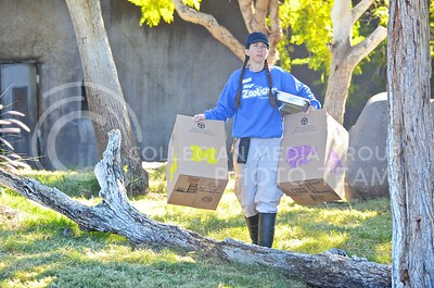 (Photo by Parker Robb | Collegian)  Shawna Brown, zookeeper at the Phoenix zoo, carries out boxed emblazoned with K-State and Michigan's logos in preparation for the sumerian tiger's prediction of the winner of the Buffalo Wild Wings Bowl December 26, 2013.
