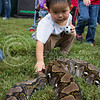 (Photo by Alexander Shaw   The Collegian) <br /> <br /> Ackton Lu, 2, curiously aproaches a snake at Purple Power Play in the Park on Aug. 28 2014.