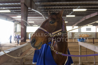 Frank, K-State equestrian horse, stands inside at Tablecreek Stables during the meet against Baylor University. Frank was used during the equitation on the flat competetion Saturday. (Evert Nelson | The Collegian)