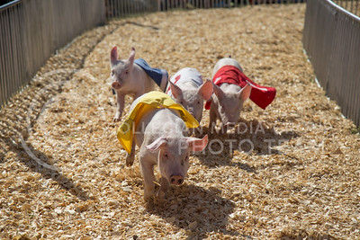 Pig races at the state fair in Hutchinson, Ks Sept. 12, 2015. The fair ran from Sept. 11 to Sept. 20.  (Nathan Jones | The Collegian)