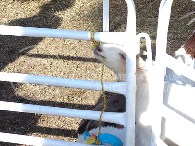 Silly goat chews on a rope at the kansas state fair petting zoo. This occured Sept. 12, 2015 in Hutchinson, Ks. (Jessica Robbins | The Collegian)