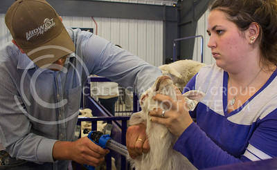 Michelle Cederberg, junior in pre-vet, holds the head of a lamb so it can recieve a shot from Joseph Hubbard, sheep and meat goat unit manager, in the Sheep and Meat Goat Unit on March 28, 2016. (Miranda Snyder | The Collegian)