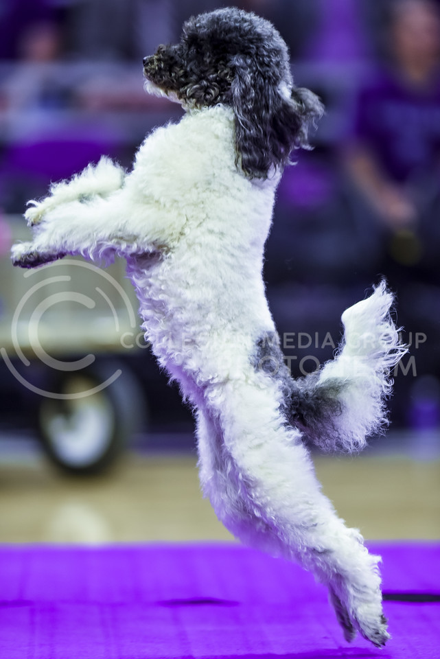 Lili, one of the Olate Dogs, hops across the court on her hind legs during the dogs' performance at halftime of the men's basketball game against Oklahoma State Jan. 23, 2016. (Parker Robb | The Collegian)