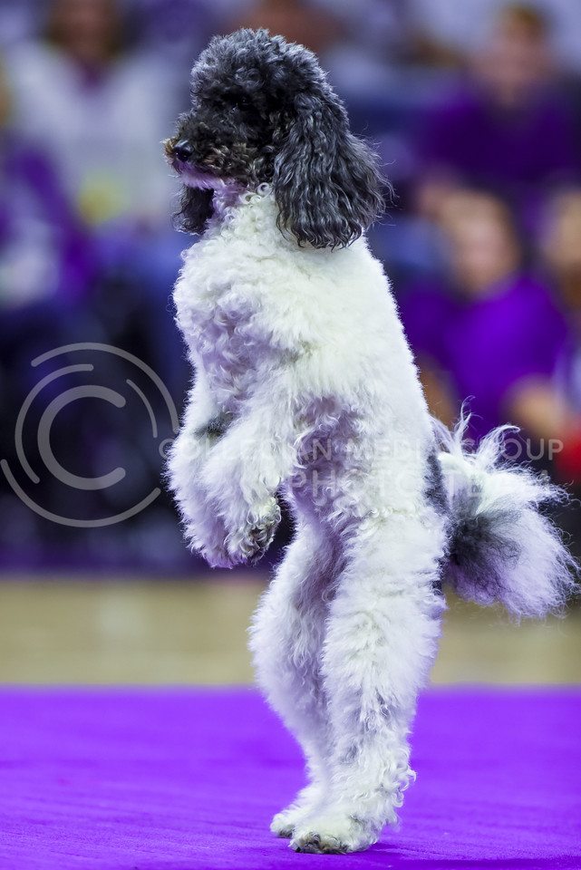 Lili, one of the Olate Dogs, walks on her hind legs during the dogs' performance at halftime of the men's basketball game against Oklahoma State Jan. 23, 2016. (Parker Robb | The Collegian)