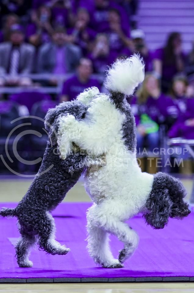 Olate Dogs Lili, right, and Loca walk together in entertaining fashion during the dogs' performance at halftime of the men's basketball game against Oklahoma State Jan. 23, 2016. (Parker Robb | The Collegian)