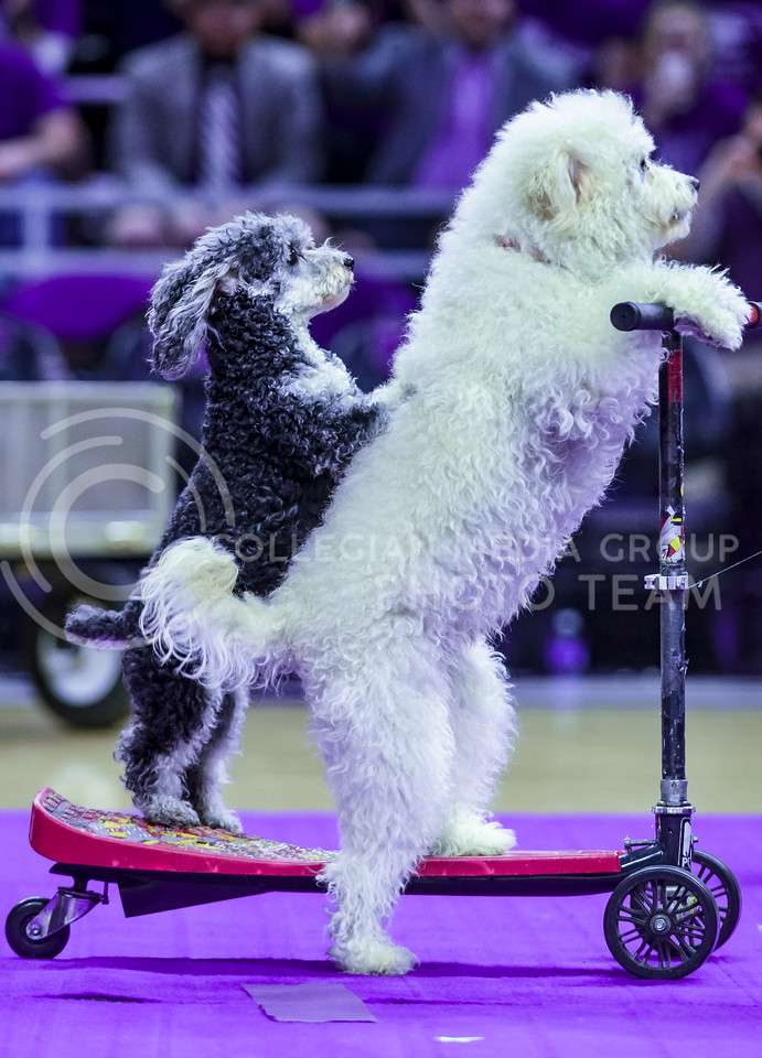 """Several of the Olate Dogs, winners of the seventh season of """"America's Got Talent"""" in 2012, ride a scooter during their performance at halftime of the men's basketball game against Oklahoma State Jan. 23, 2016. (Parker Robb 
