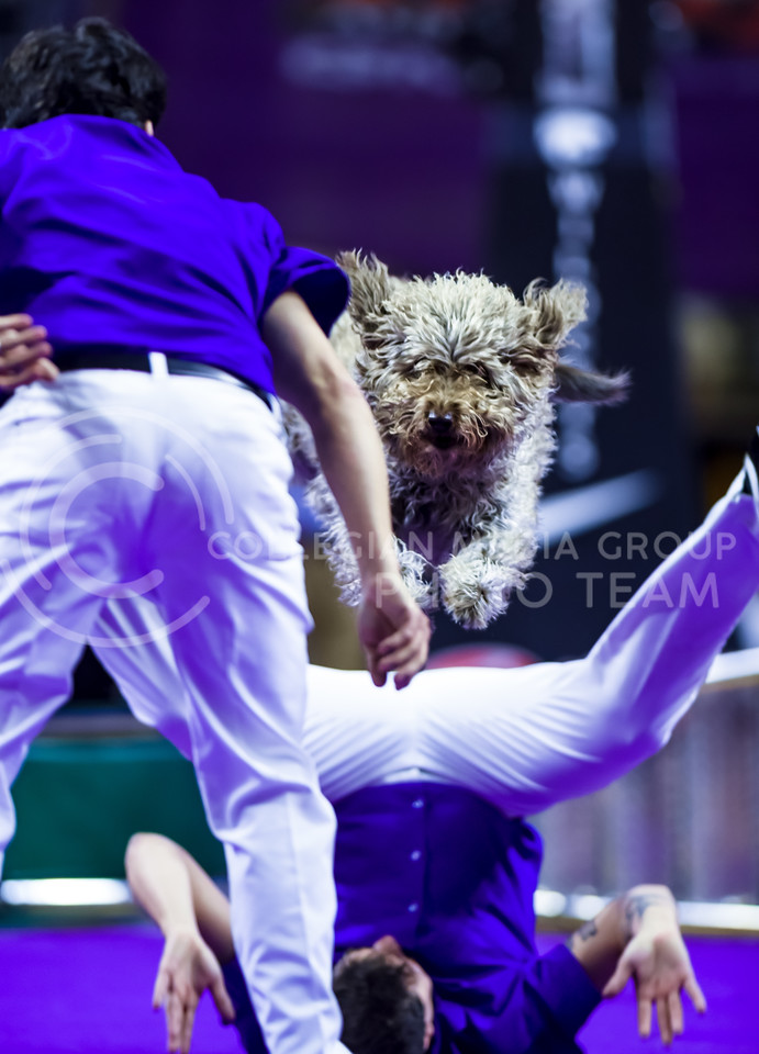 Cholo, one of the Olate Dogs, bounds over and under trainers Richard and Nicholas Olate during the dogs' performance at halftime of the men's basketball game against Oklahoma State Jan. 23, 2016. (Parker Robb | The Collegian)