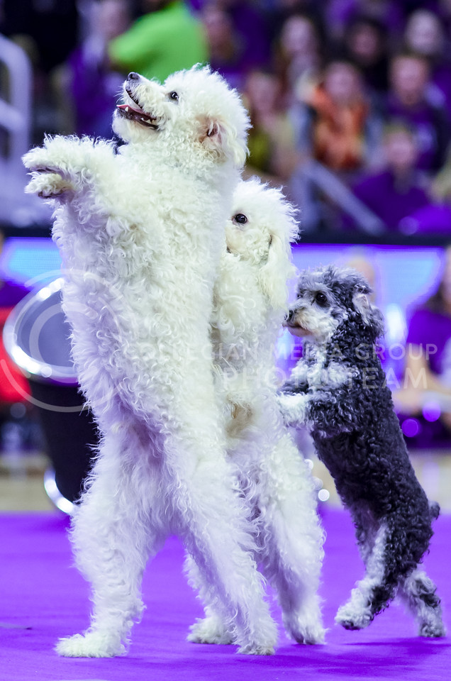 """Several of the Olate Dogs, winners of the seventh season of """"America's Got Talent"""" in 2012, perform at halftime of the men's basketball game against Oklahoma State Jan. 23, 2016. (Parker Robb 