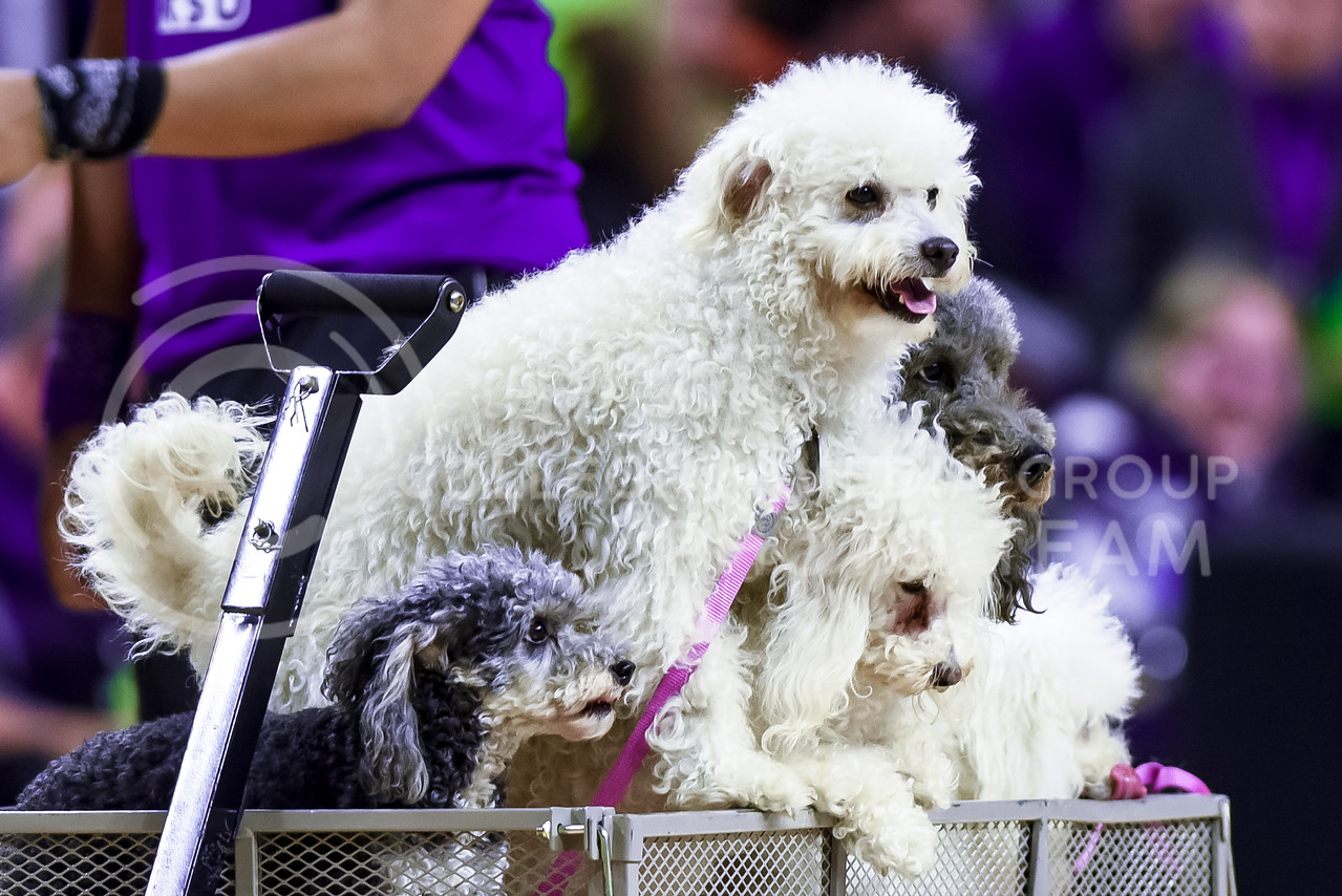 """Several of the Olate Dogs, winners of the seventh season of """"America's Got Talent"""" in 2012, wait anxiously in a wagon for their turns to perform at halftime of the men's basketball game against Oklahoma State Jan. 23, 2016. (Parker Robb 