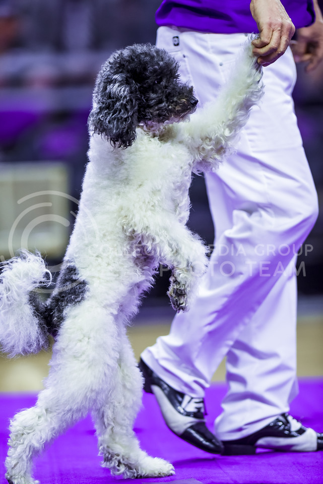 Lili, one of the Olate Dogs, walks upright with trainer Richard Olate during the dogs' performance at halftime of the men's basketball game against Oklahoma State Jan. 23, 2016. (Parker Robb | The Collegian)