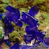 Azurite from Courtland / Gleeson, 1.8 mm FOV