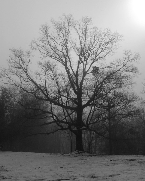 Walnut Tree, January 2008