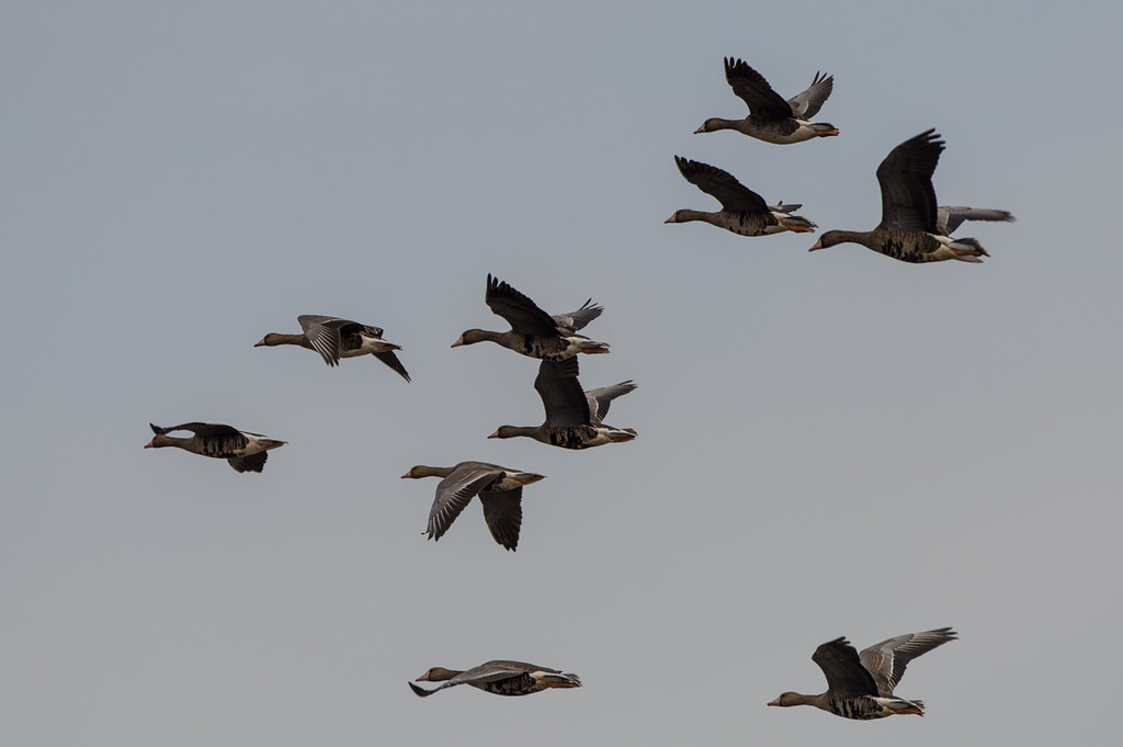 Geese in flight...