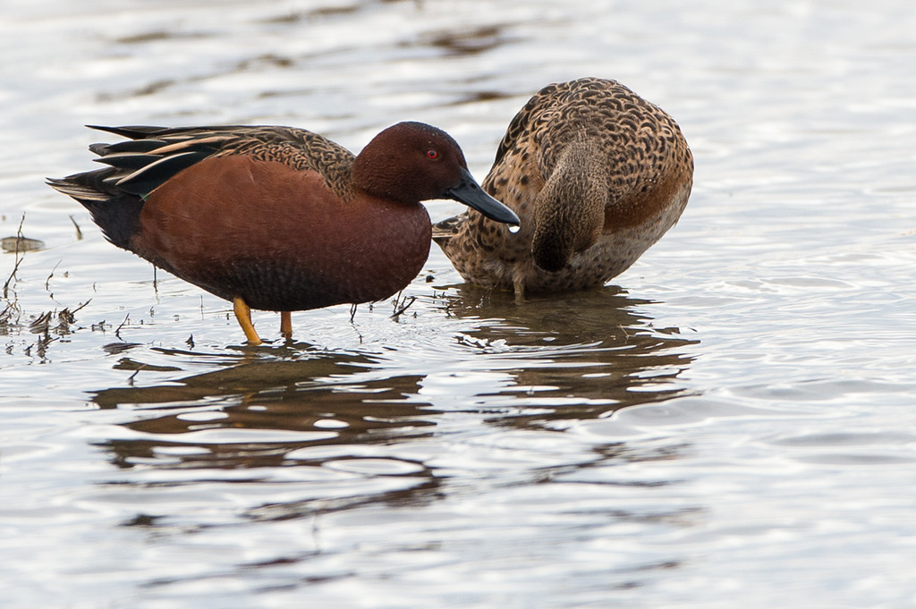 Elusive cinnamon teal duck..Lisa likes them, obligatory that I include pics of them!
