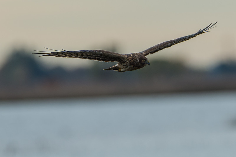 Northern harrier..