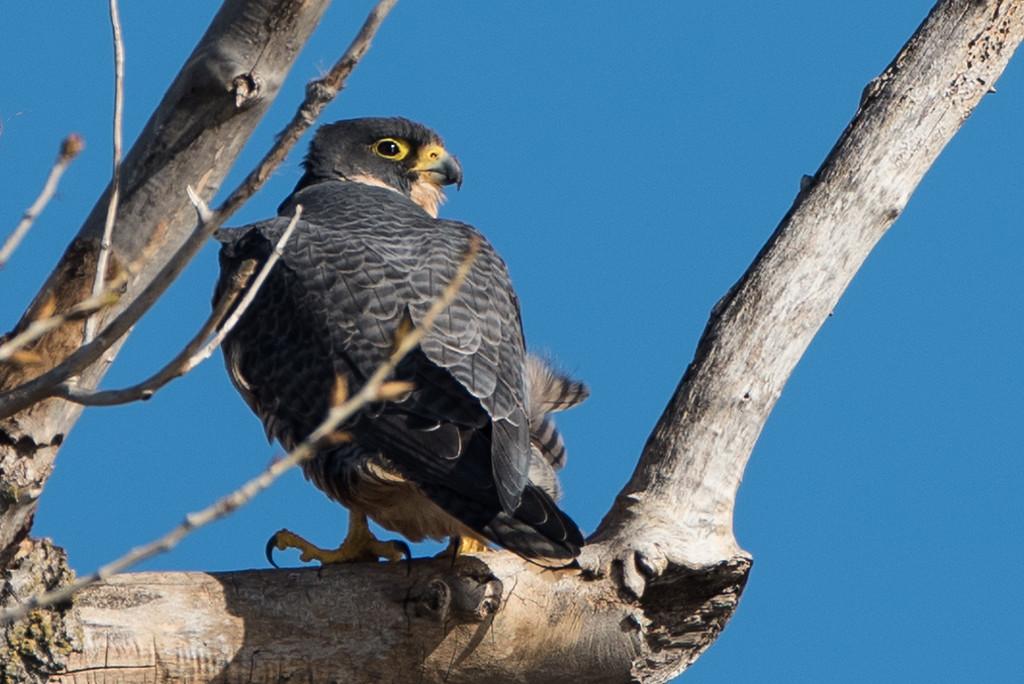 Peregrine Falcon, a rare sighting around the refuges!