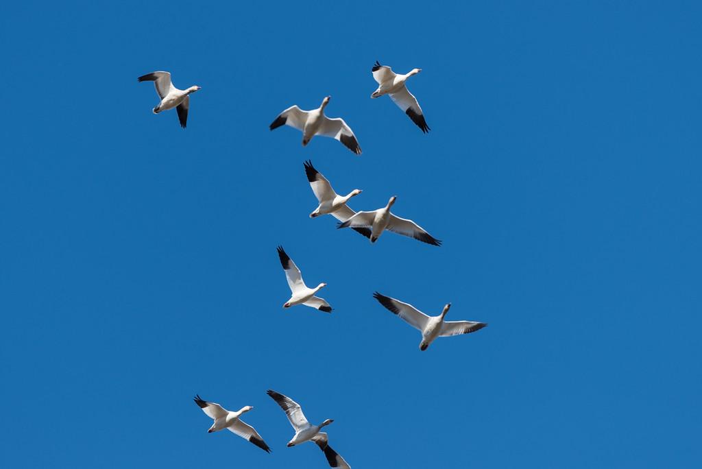 Snow geese in a mid-air merge...