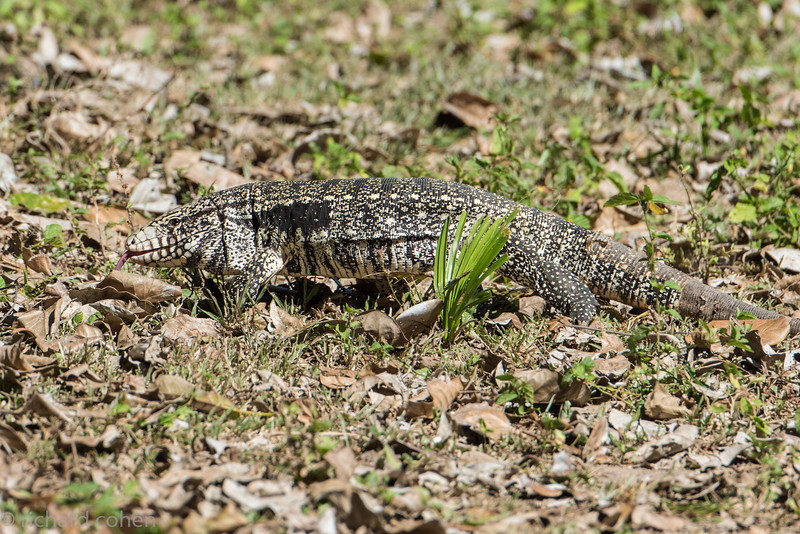 Black and white Tegu for all you lizard fans.