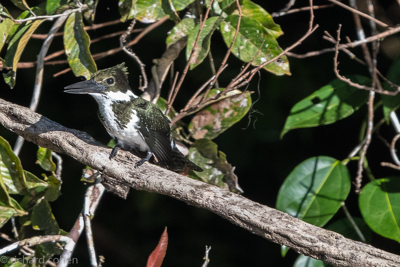 Amazon kingfisher.